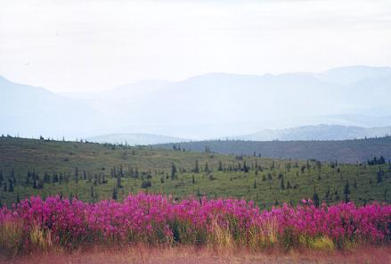 fireweed-decorates-the-roadside