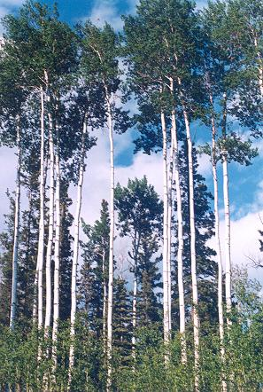 forests-of-white-birch-trees