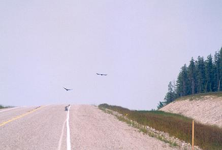 ravens-over-the-alaska-highway